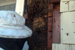 Honeybee Hive in Wood Wall