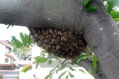 Honeybee Swarms