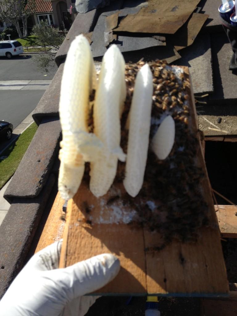 Bee Removal in Oceanside