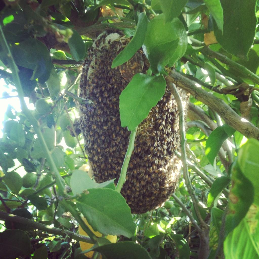 Bee removal in Aliso Viejo