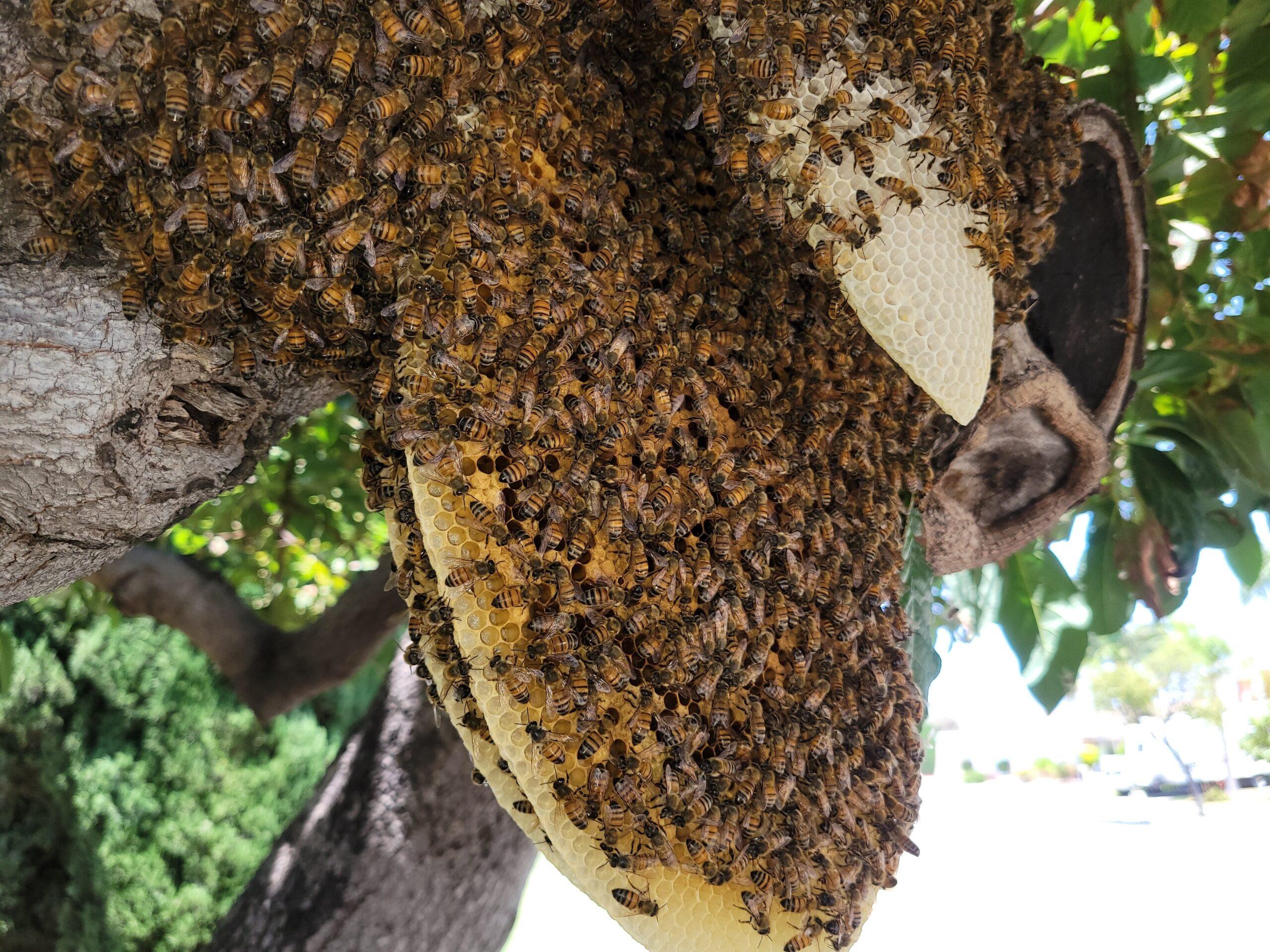 Oceanside Safe Bee Removal