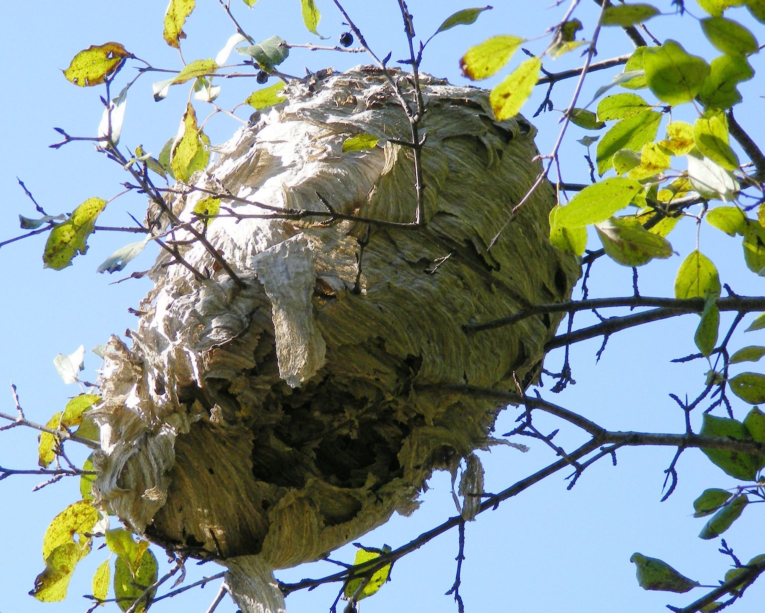Signs Of A Wasp Nest
