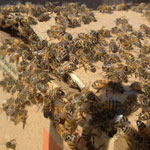 Bee Removal in Indio