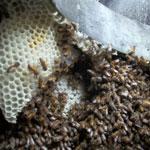 Bee Removal in La Quinta