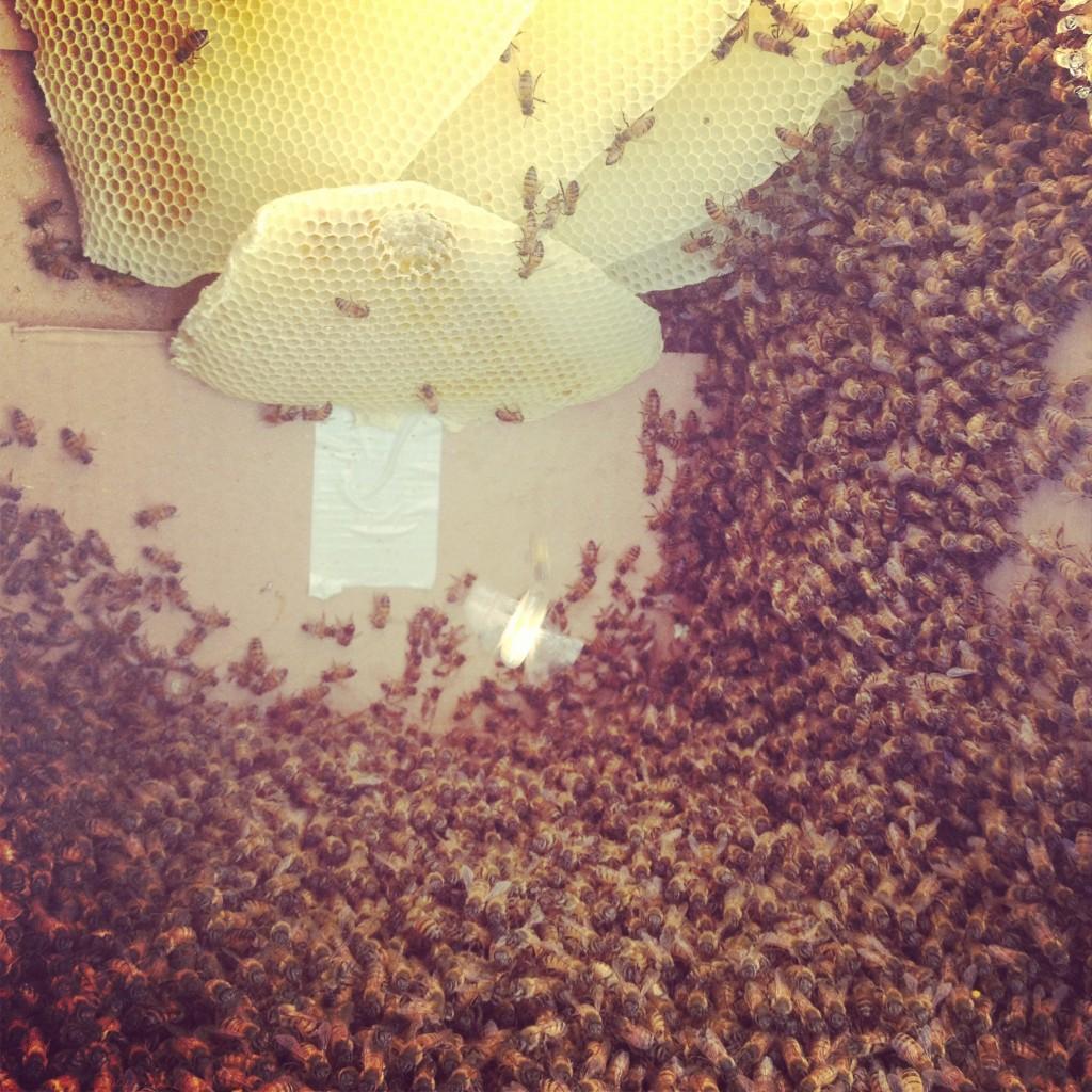 Bee Removal in Del Cerro