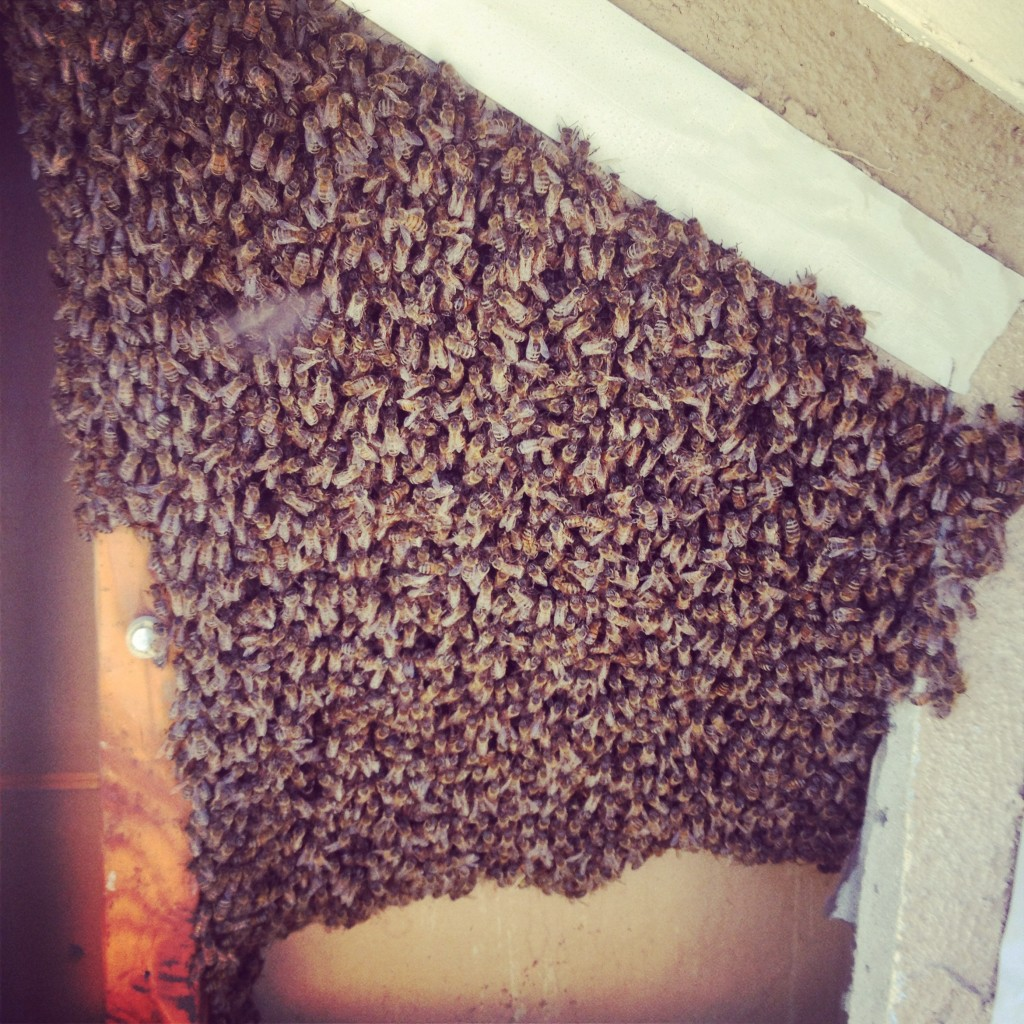Bee Removal in Mount Laguna