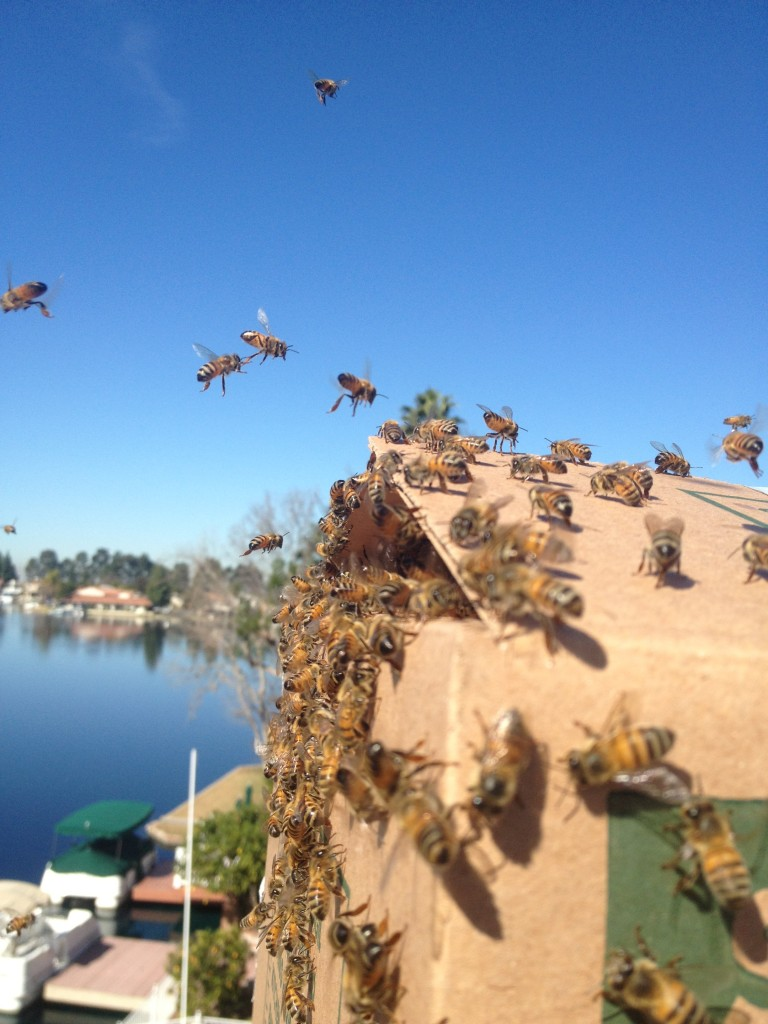 Bee Removal in Pala