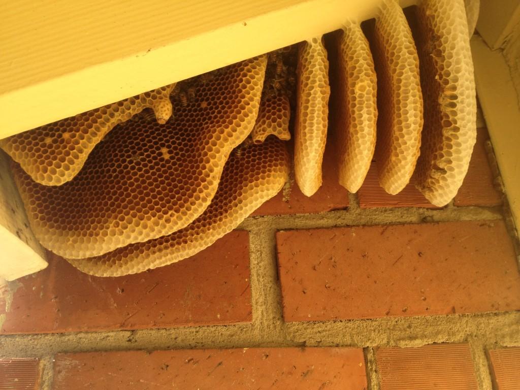 Bee Removal in San Juan Capistrano