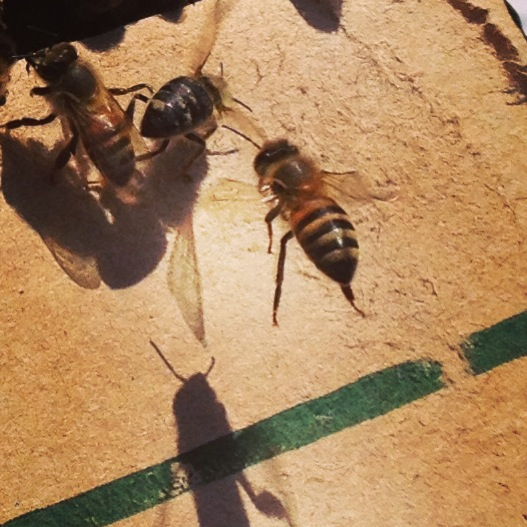 Bee Removal in Lake Forest