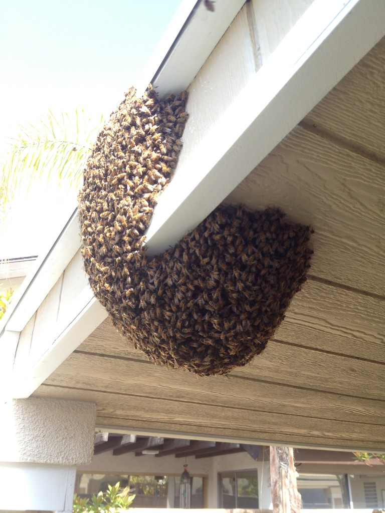 Bee Removal in Newport Beach