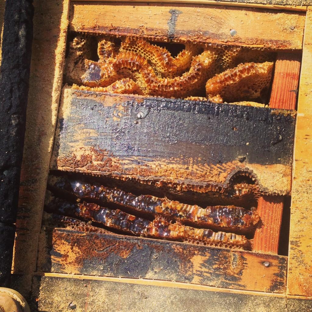 Bee Removal in Laguna Beach