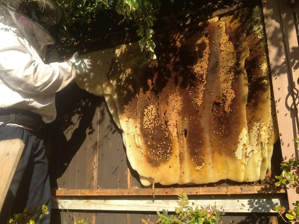 Bee Removal in Fullerton
