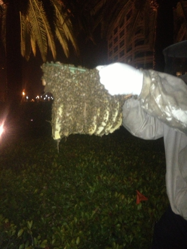Bee Removal in Dana Point