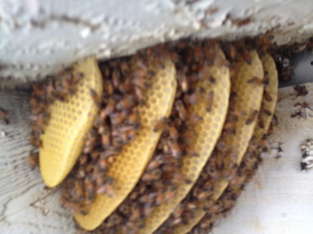 Bee Removal in Encinitas
