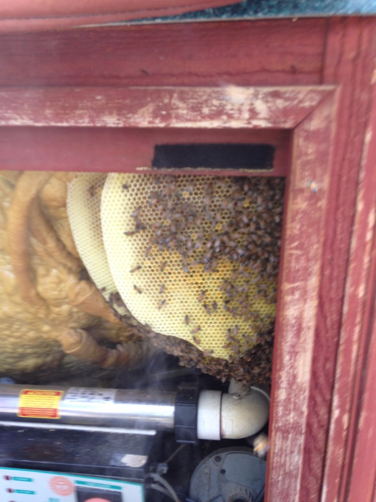 Bee Removal in Whitewater